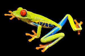 red-eye-frog-2815683